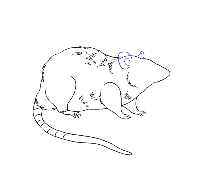 How to draw a rat Step: 17