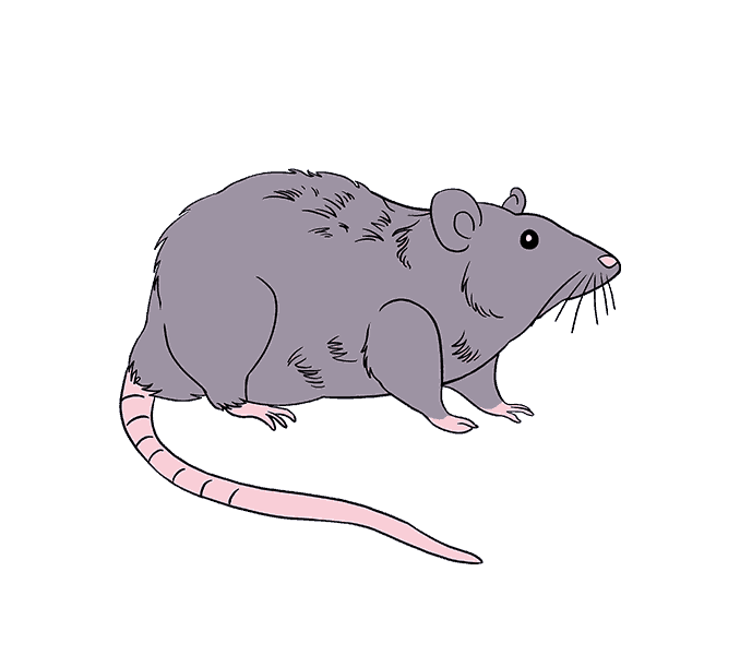 How to Draw Rat: Step 21