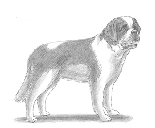 Drawing tutorial: How to Draw a Saint Bernard