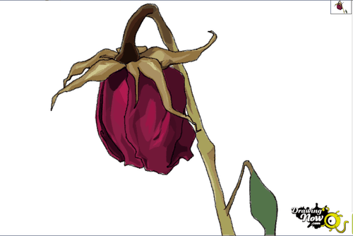Drawing tutorial: How to Draw a Wilted Rose