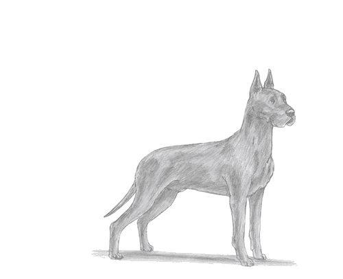 Drawing tutorial: How to Draw a Great Dane