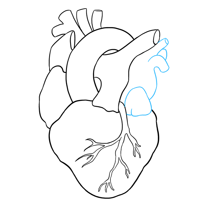How to Draw Human Heart: Step 8