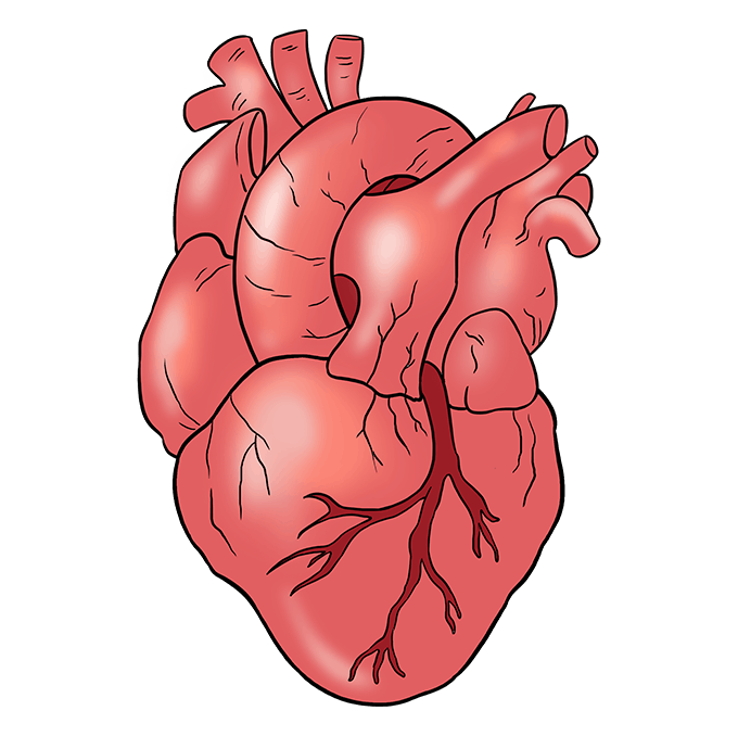 How to Draw Human Heart: Step 10