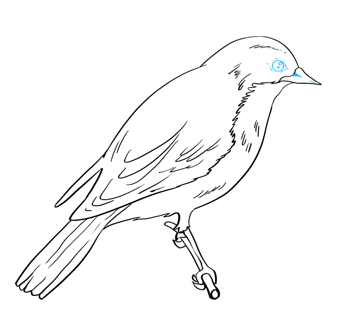 How to Draw Eastern Bluebird: Step 9