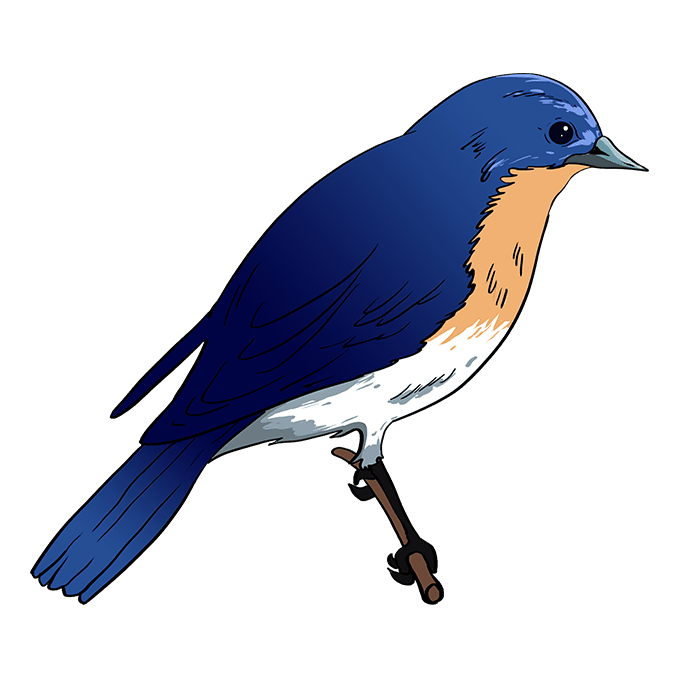 How to Draw Eastern Bluebird: Step 10