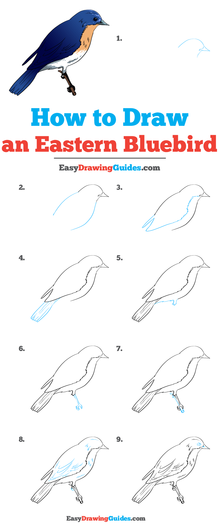 How to Draw Eastern Bluebird