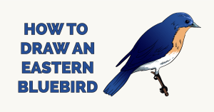 How to Draw a Eastern Bluebird Featured Image