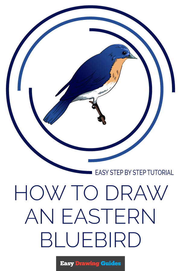 How to Draw Eastern Bluebird | Share to Pinterest