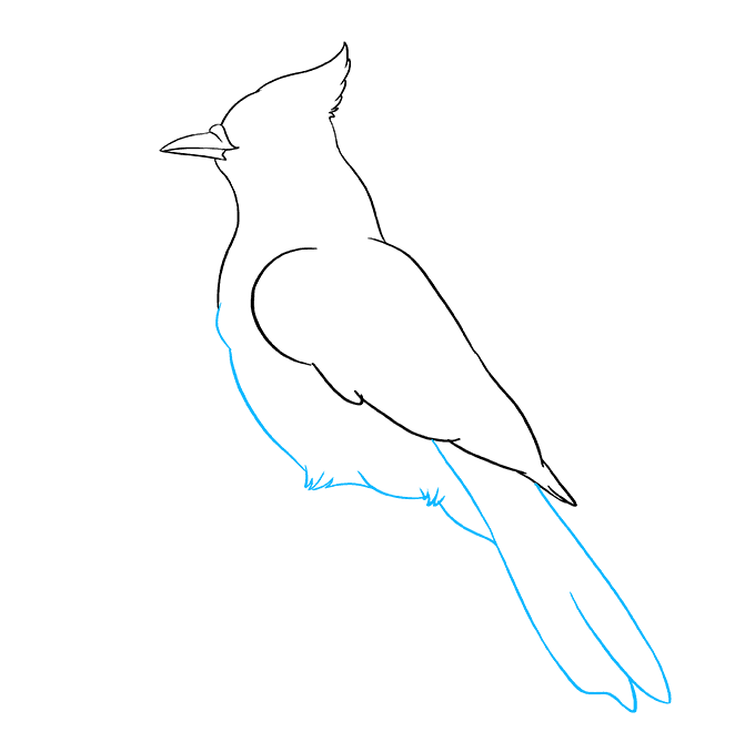 How to Draw a Blue Jay Step 07