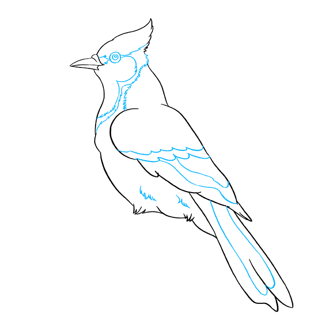 How to Draw a Blue Jay Step 08