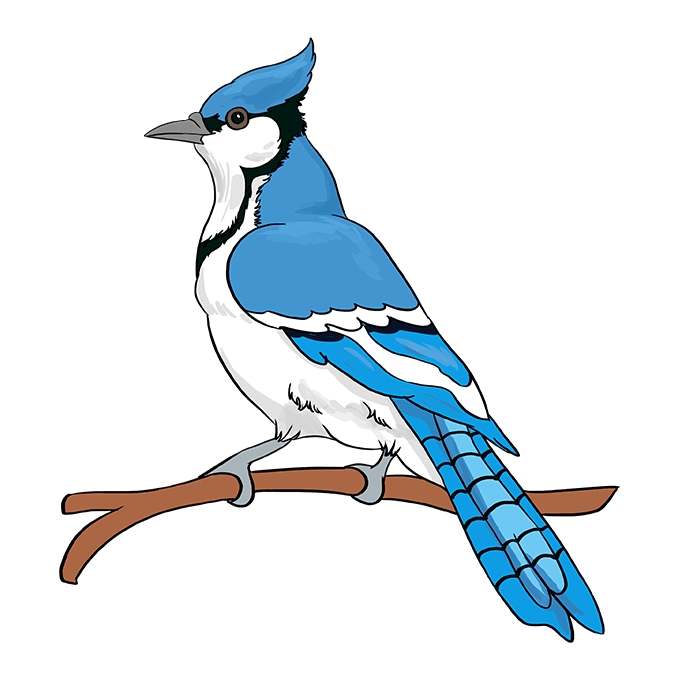 How to Draw a Blue Jay Step 10