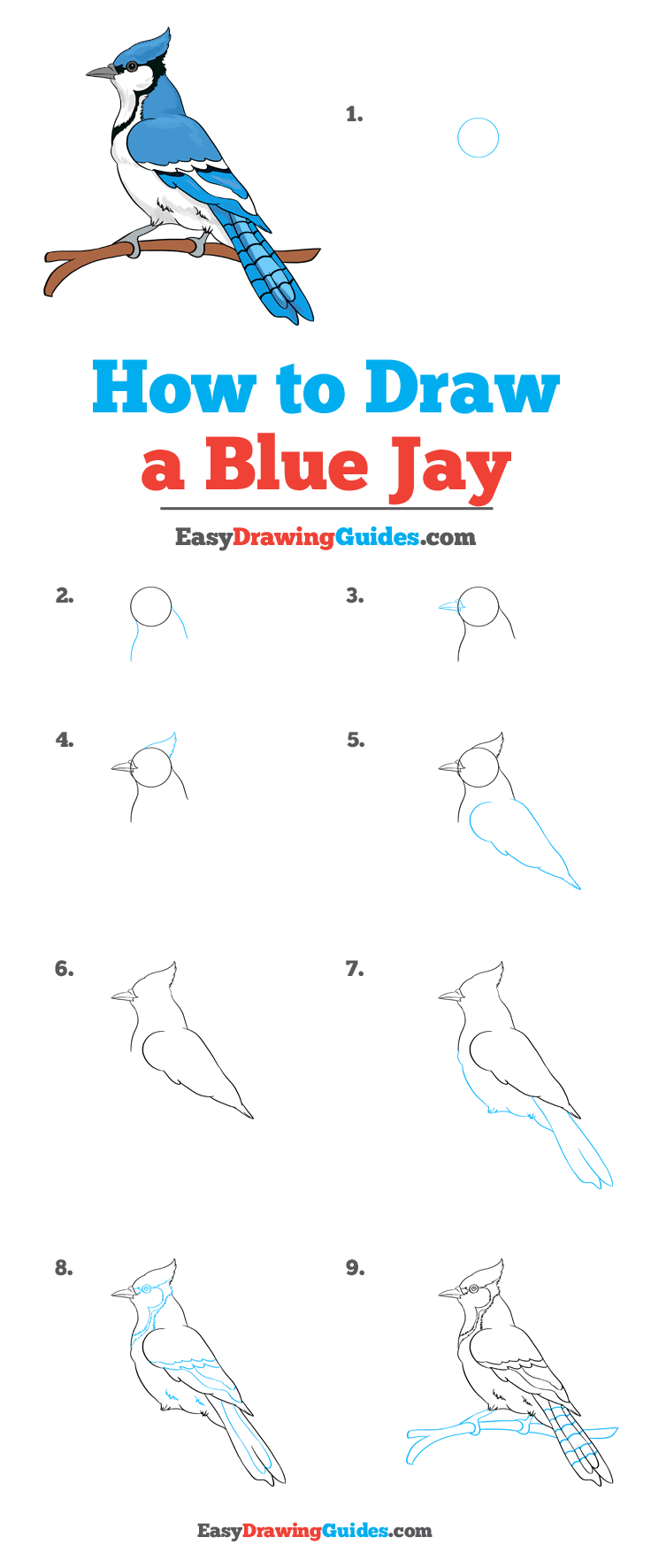 How to Draw a Blue Jay Step by Step Tutorial Image