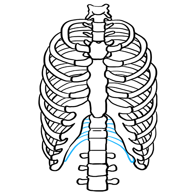 How to Draw Rib Cage: Step 9