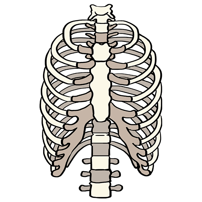 How to Draw a Rib Cage Step 10