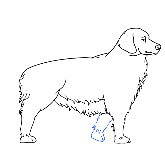 How to Draw a Golden Retriever Step 06