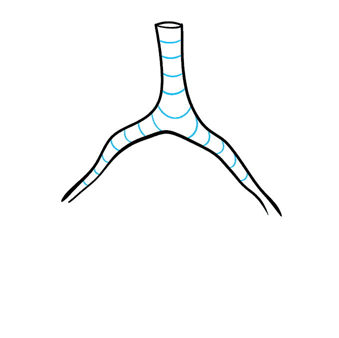 How to Draw Lungs: Step 4