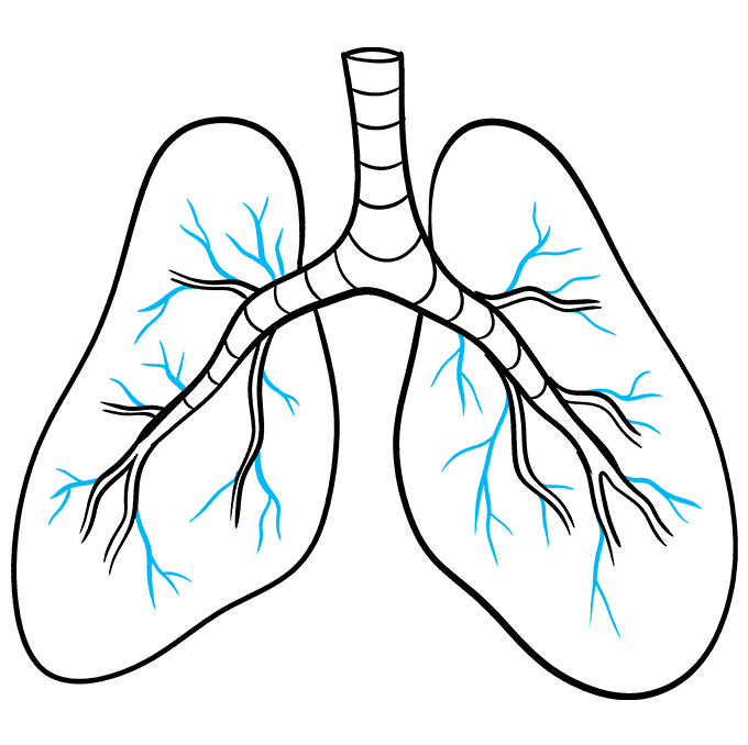 How to Draw Lungs: Step 9