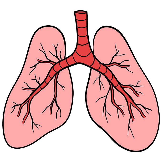 How to Draw Lungs: Step 10