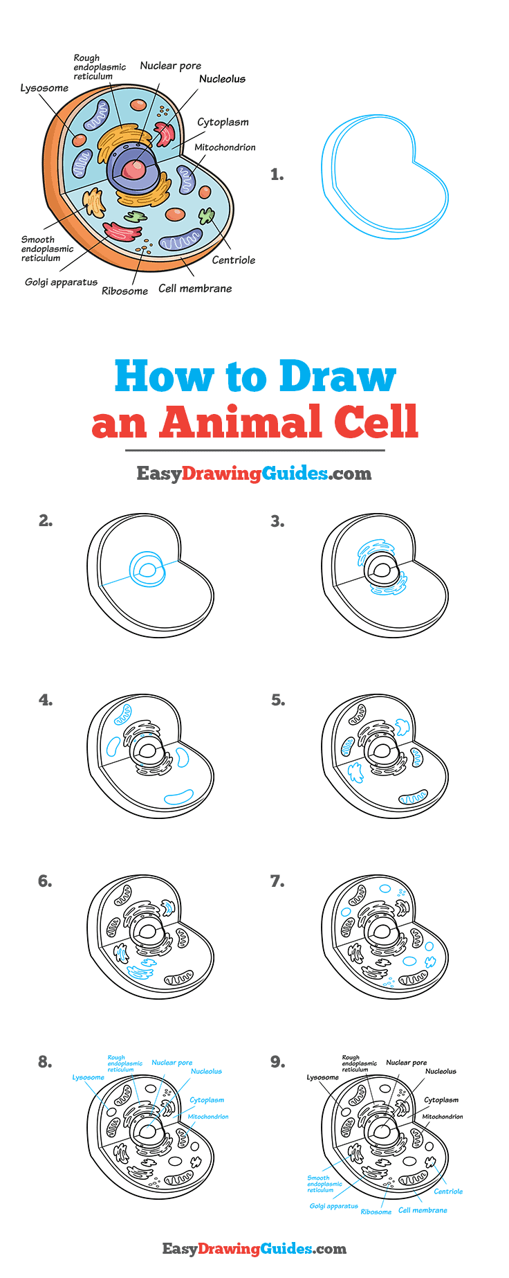 How to Draw an Animal Cell Step by Step Tutorial Image