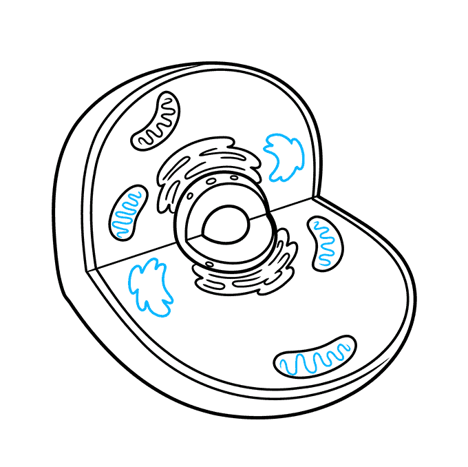 How to Draw an Animal Cell Step 05