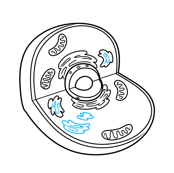 How to Draw an Animal Cell Step 06