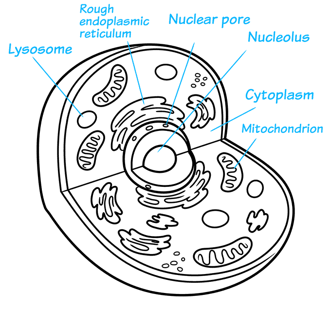 How to Draw an Animal Cell Step 08