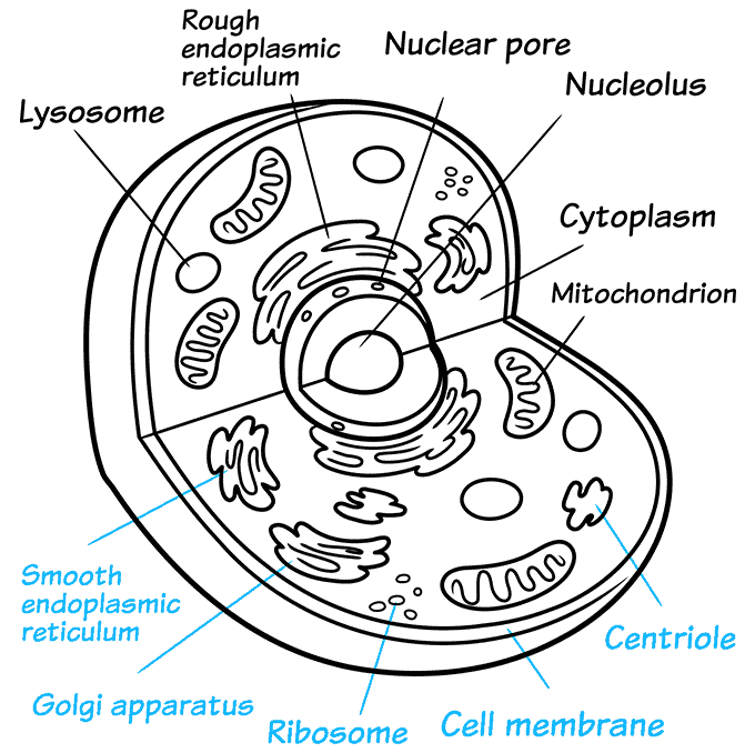 How to Draw an Animal Cell Step 09