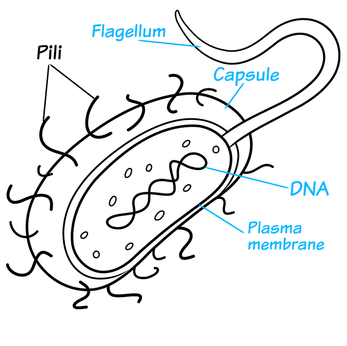 How to Draw Bacteria Step 08